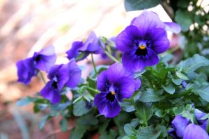 Purple Violas, purple Johnny-jump-ups