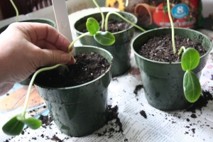 Removing extra seedling