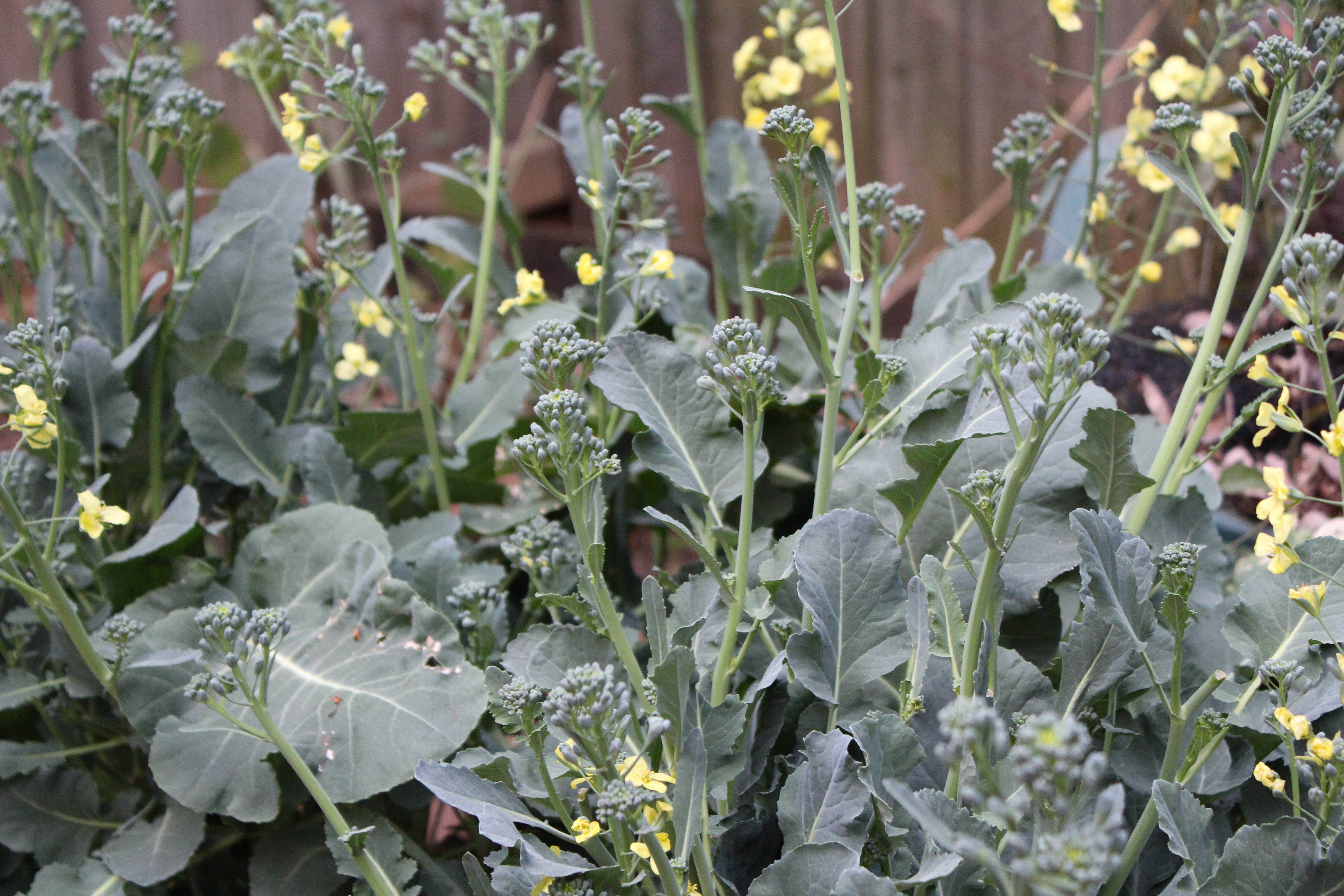Broccoli Bolting The Gardener And The Chef